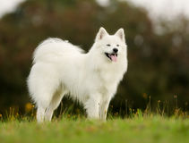 Pedigree samoyed dog Stock Photography