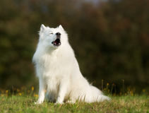 Pedigree samoyed dog Royalty Free Stock Image