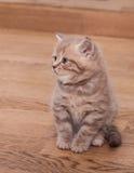 Pedigree Scottish Straight kitten Royalty Free Stock Photo