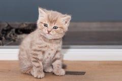 Pedigree Scottish Straight kitten Royalty Free Stock Image