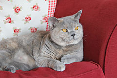 Pedigree shorthair cat on sofa Royalty Free Stock Photo