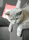 Pedigree sofa cat Stock Image
