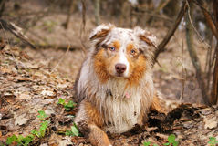 Pedigree stately dog walks in the woods royalty free stock photography