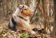 Pedigree stately dog walks in the woods stock photo