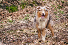 Pedigree stately dog walks in the woods royalty free stock photo