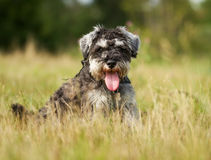 Pedigree terrier dog Royalty Free Stock Images