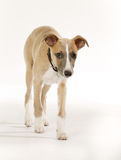 Pedigree whippet dog Royalty Free Stock Images