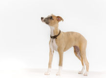 Pedigree whippet dog Royalty Free Stock Photography