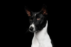 Pedigree White with black Basenji Dog on Isolated Background Royalty Free Stock Photography