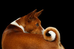 Pedigree White with Red Basenji Dog on Isolated Black Background Stock Photography