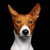 Pedigree White with red Basenji Dog on Isolated Black Background Royalty Free Stock Images