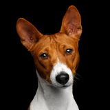 Pedigree White with red Basenji Dog on Isolated Black Background Royalty Free Stock Photo