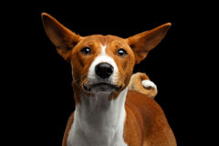 Pedigree White with Red Basenji Dog on Isolated Black Background Stock Photos