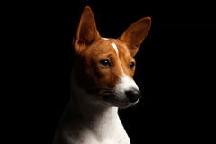 Pedigree White with red Basenji Dog on Isolated Black Background Royalty Free Stock Photos