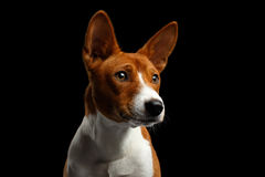Pedigree White with Red Basenji Dog on Isolated Black Background Royalty Free Stock Image