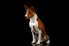 Pedigree White with Red Basenji Dog on Isolated Black Background Stock Images