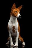 Pedigree White with Red Basenji Dog on Isolated Black Background Royalty Free Stock Photography