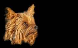 Pedigree yorkshire terrier dog business card isolated on black. Photo of a yorkshire terrier dog side profile portrait isolated on black background for own text stock images