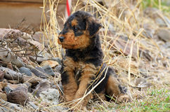 Pedigreed Airedale Terrier puppy exploring his new world Royalty Free Stock Image