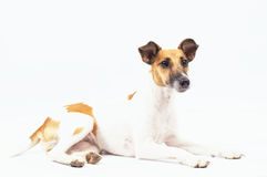 Pedigreed dog is lying on a white background Royalty Free Stock Photography
