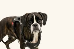 Sad dog on the show. Pedigreed dog with sad eyes at the dog show. In eyes in sight discontent Royalty Free Stock Photo