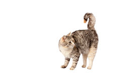 Pedigreed furry spotted cat growls. Isolated on white background Stock Photos