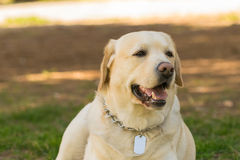 Pedigreed Labrador dog portrait. A close up look. Royalty Free Stock Images