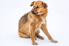 Without pedigreed red dog Royalty Free Stock Photos