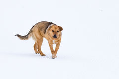 Without pedigreed red dog Royalty Free Stock Images