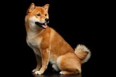 Pedigreed Red Shiba inu Dog Sitting on Isolated Black Background Royalty Free Stock Photo