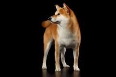 Pedigreed Red Shiba inu Dog Standing on  Black Background Royalty Free Stock Photo
