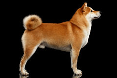 Pedigreed Red Shiba inu Dog Standing on  Black Background Stock Images