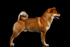 Pedigreed Red Shiba inu Dog Standing on  Black Background Royalty Free Stock Photos