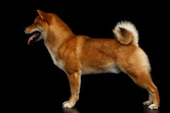 Pedigreed Red Shiba inu Dog Standing on  Black Background Royalty Free Stock Images