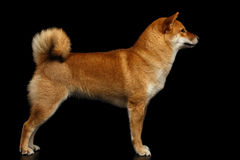 Pedigreed Red Shiba inu Dog Standing on Isolated Black Background. Cute pedigreed Red Shiba inu Breed Dog Standing on Isolated Black Background, Side view Royalty Free Stock Photography