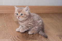 Pedigreed Scottish Straight kitten Stock Photography