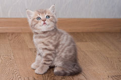 Pedigreed Scottish Straight kitten Royalty Free Stock Image