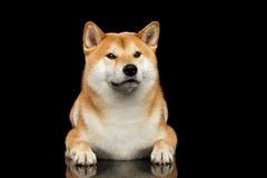 Pedigreed Shiba inu Dog Lying, Looks closely,  Black Background Royalty Free Stock Images
