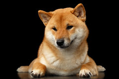 Pedigreed Shiba inu Dog Lying, Looks closely, Isolated Black Background Stock Photography