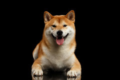 Pedigreed Shiba inu Dog Lying, Smiling, Looks Curious,  Black Background Royalty Free Stock Image