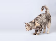 Pedigreed shorthair spotted cat sits Royalty Free Stock Photography