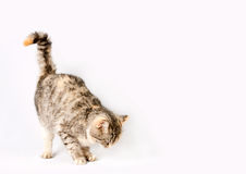 Pedigreed shorthair spotted cat sits Stock Photo