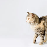 Pedigreed shorthair spotted cat sits Royalty Free Stock Photo