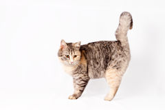 Pedigreed shorthair spotted cat sits Royalty Free Stock Image