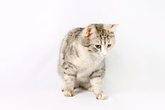 Pedigreed shorthair spotted cat sits Stock Photos