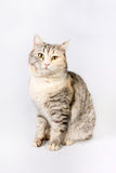 Pedigreed shorthair spotted cat sits. Royalty Free Stock Images