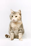 Pedigreed shorthair spotted cat sits. Stock Photography