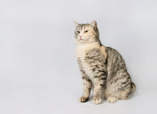 Pedigreed shorthair spotted cat sits. Stock Photo