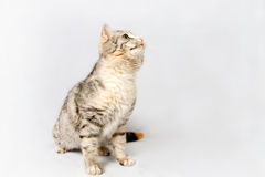 Pedigreed shorthair spotted cat sits. Royalty Free Stock Photo