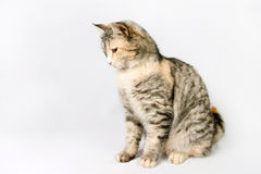 Pedigreed shorthair spotted cat sits, looking down. Royalty Free Stock Photography